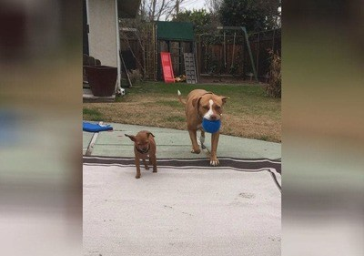 /trending/the-special-bond-between-two-incredible-dogs/img/pitbullstory02_MobileImageSizeReigNN.jpg