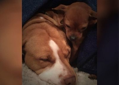 /trending/the-special-bond-between-two-incredible-dogs/img/pitbullstory07_MobileImageSizeReigNN.jpg