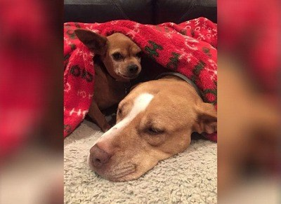 /trending/the-special-bond-between-two-incredible-dogs/img/pitbullstory12_MobileImageSizeReigNN.jpg