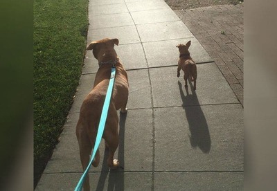 /trending/the-special-bond-between-two-incredible-dogs/img/pitbullstory23_MobileImageSizeReigNN.jpg