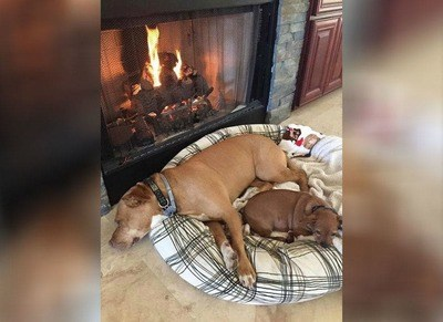 /trending/the-special-bond-between-two-incredible-dogs/img/pitbullstory30_MobileImageSizeReigNN.jpg
