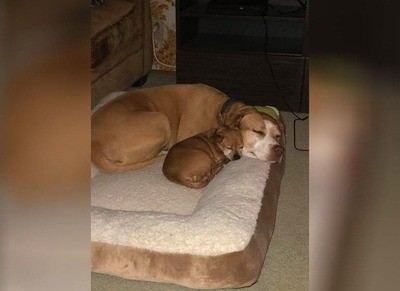 /trending/the-special-bond-between-two-incredible-dogs/img/pitbullstory40_MobileImageSizeReigNN.jpg